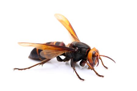 cadaver: big hornet on white background Stock Photo
