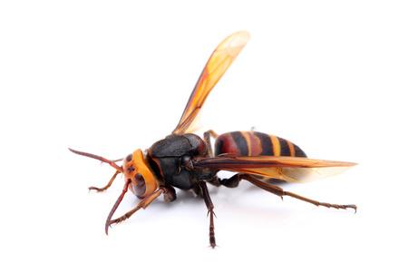 live big hornet on white background photo