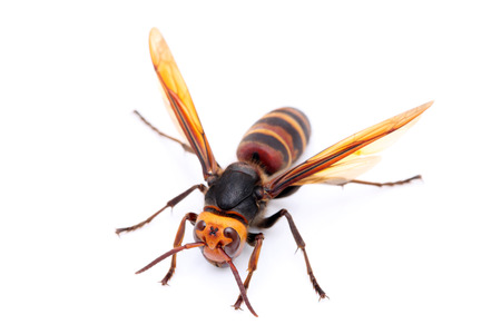 live big hornet on white background Stock Photo