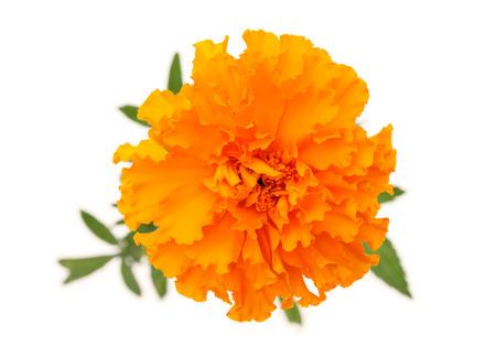 白い背景の上のオレンジ色のマリーゴールドの花