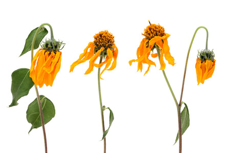 fading: fading cosmos flowers isolated on white background