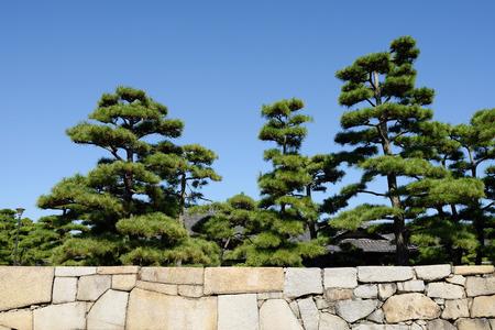 Japanese bonsai pine tree with stone wall photo