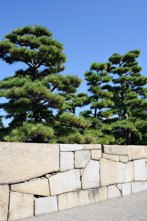 Japanese bonsai pine tree with stone wall