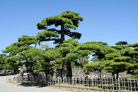 peaceful Japanese garden with pine trees photo