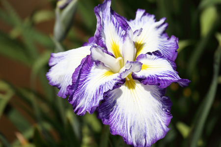 blueflag: white iris flower on flower bed