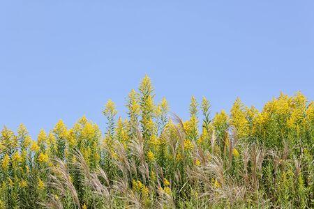goldenrod: giant goldenrod field against the clear blue sky Stock Photo