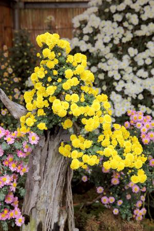 japanese chrysanthemum: bonsai of chrysanthemum flowers at a japanese garden