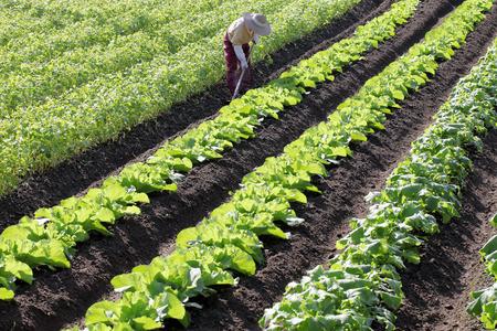 Senior farmer hoeing vegetable garden