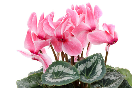 Closeup view of a pink cyclamen isolated on white background Stock Photo