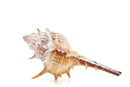 close up of spiny seashell on a white background