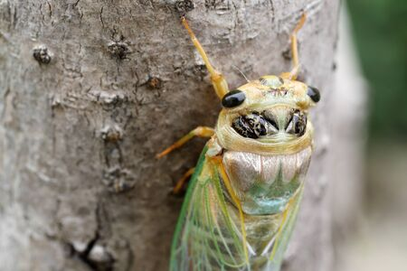 Macro image of a newly cicada molting process