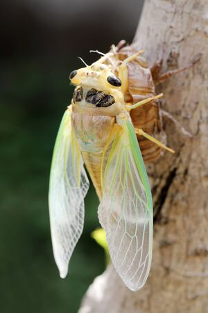 Macro image of a newly cicada molting process Фото со стока