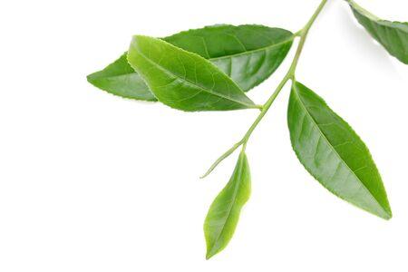 Japanese fresh green tea leaves