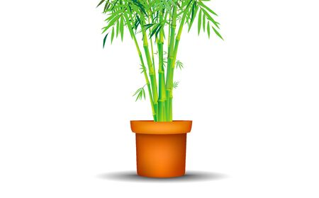 bamboo tree in pot on the white background