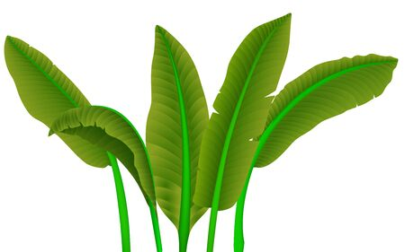 green banana leaves on the white background 向量圖像