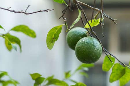 bodegones: limas frescas en el �rbol de lim�n