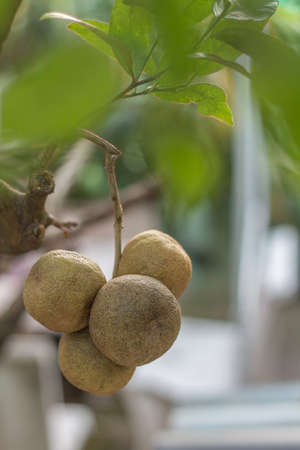 still lifes: mature limes on lime tree Stock Photo