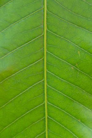 straight line: Green leaf and straight line (texture) Stock Photo