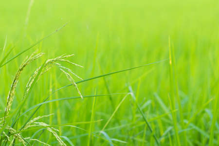 farming plant: Green rice in Cultivated Agricultural Field Early Stage of Farming Plant Development Selective Focus with Shallow Depth of Field