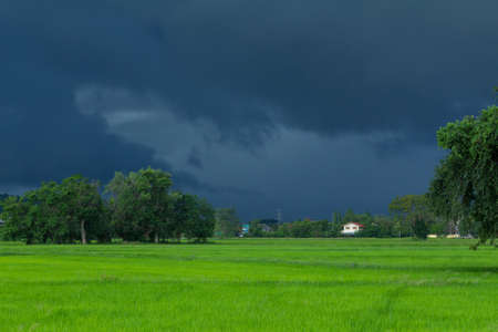 strom: Image of green rice field with heavy strom background. It seem like heavy rain is coming