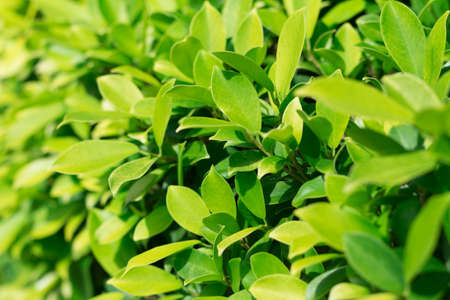 background of leaves yellow-green bush close up soft focus