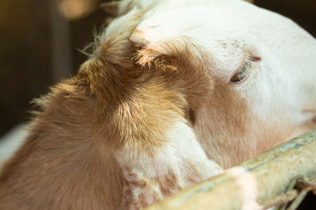sheep eye: Sheep in a cage(selective focus of the eye) Stock Photo