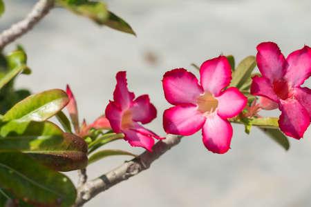 clima tropical: Pink Rose desierto o impala lirio o la flor de la azalea simulacro de clima tropical (enfoque suave)
