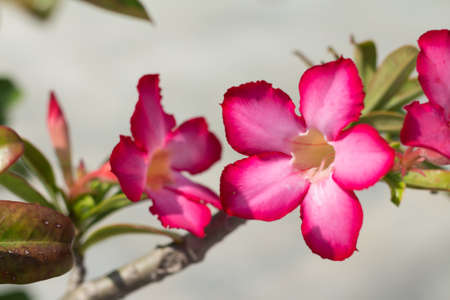 clima tropical: Pink Desert Rose or Impala Lily or Mock Azalea flower from tropical climate (soft focus) Foto de archivo
