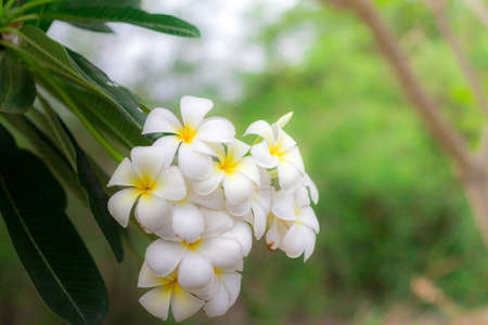 Sweet scent from white Plumeria flowers in the garden. Plumeria flowers in nature.(selective focus,vintage effect)