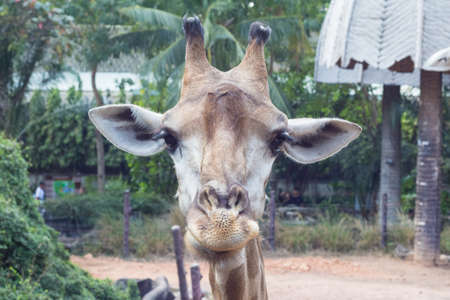 close up image of funny giraffes face Stock Photo