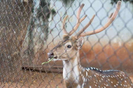 The chital or cheetal also known as spotted deer or axis deer that live in the zoo of thailand