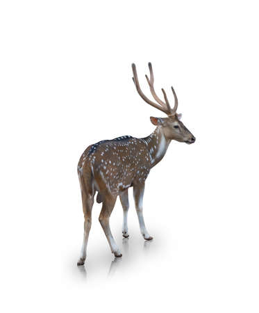 The chital or spotted deer isolated on white background