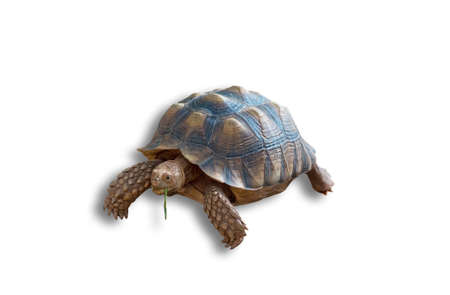 Sulcata tortoise, African spurred tortoise isolated on white background