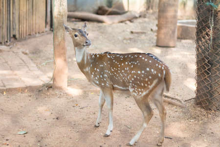 madhya: The chital or cheetal also known as spotted deer . Stock Photo