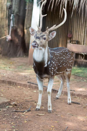 The chital or cheetal also known as spotted deer.