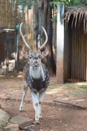 The chital or cheetal also known as spotted deer . Stock Photo