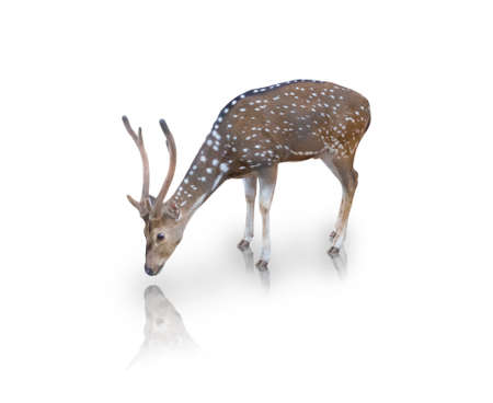 The chital or spotted deer isolated on white background(clipping path) Stock Photo