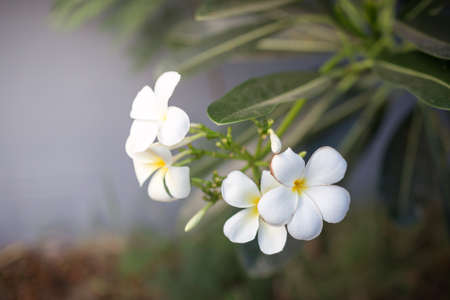 The picture of Sweet scent from white Plumeria flowers in the garden Imagens