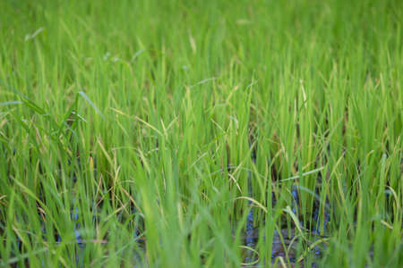 close up of green rice field grow in paddy farm in summer season