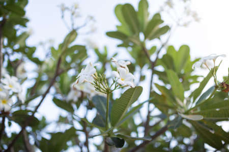 Sweet scent from white Plumeria flowers in the garden