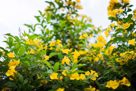 Many of little yellow flowers in the green garden at afternoon