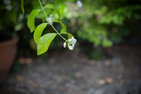 Many of little white flowers in the green garden at afternoon