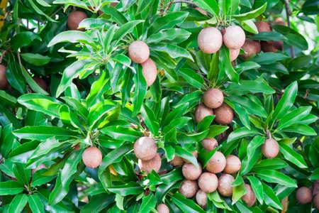 Sapota fruit on tree Stock Photo