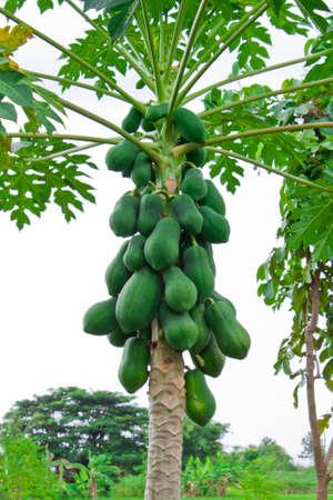 Papaya on tree in garden photo