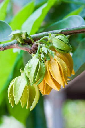 Ylang-Ylang Flowers on tree Stock Photo