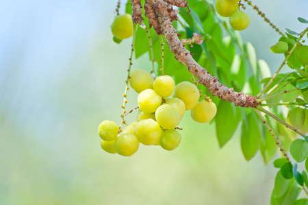 Phyllanthus acidus on tree