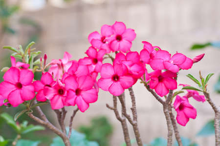 Azalea flowers of thailand  photo