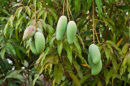 Fresh mangoes hold on the tree  photo