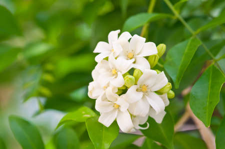 jessamine: fiore bianco arancio gelsomino, Tailandia Archivio Fotografico