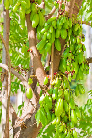 Bilimbi Fruit on tree photo